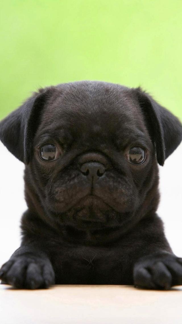 Black Pug 3