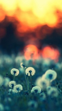 Dandelions At Sunset