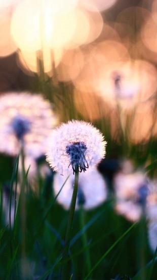 Dandelions Macro