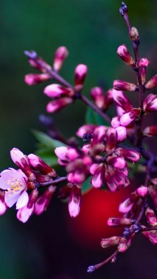 Pink Buds Close-up