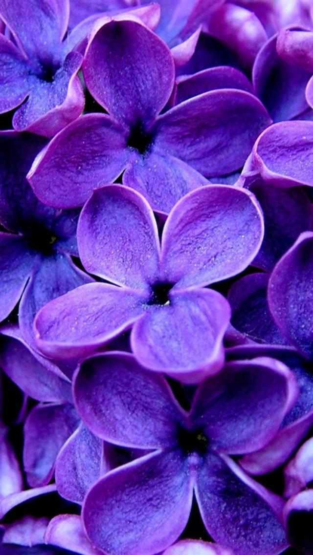 The iPhone Wallpapers » Purple Flowers
