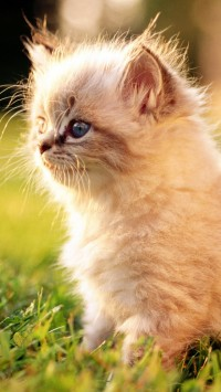 White Persian Kitten Outdoors