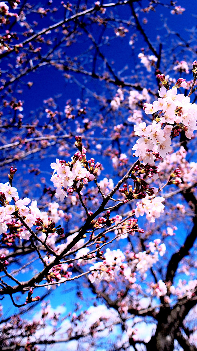cherry blossom anime iphone wallpaper