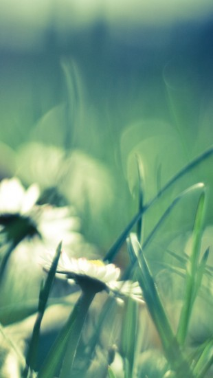 Daisies And Grass