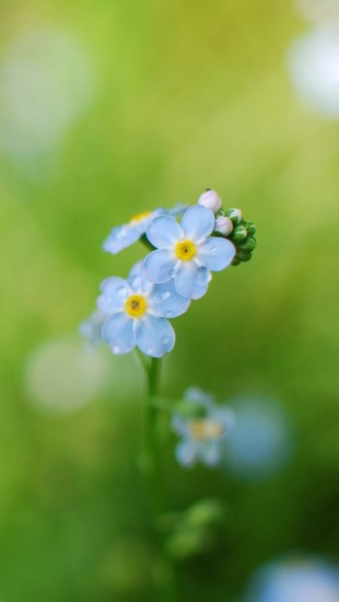 Forget Me Flowers