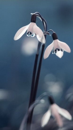 Opened Snowdrops