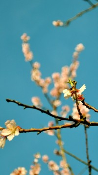 Peach Flowers Spring