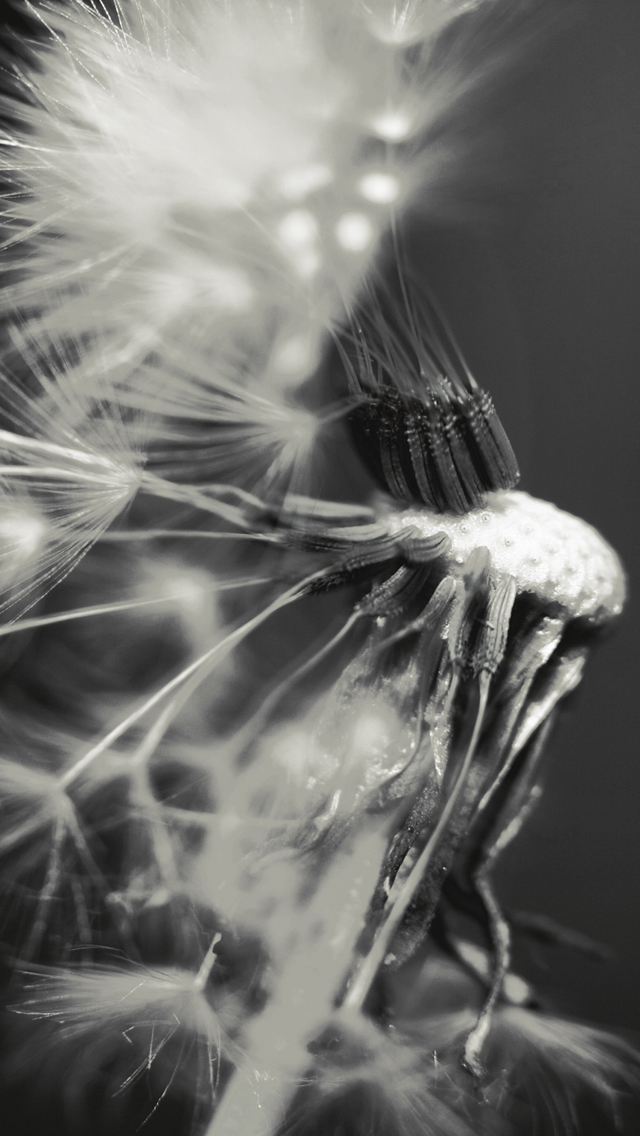 The Iphone Wallpapers Fly Away Dandelion