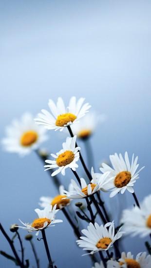 White Daisies Flowers