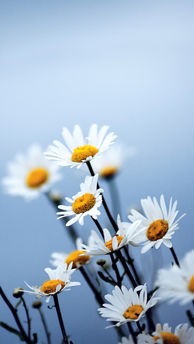 White Daisies Flowers - The iPhone Wallpapers