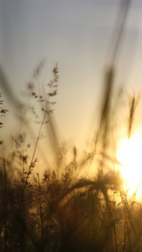 Sunrise In A Rye Field