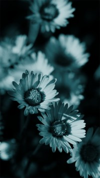 Black and white daisies