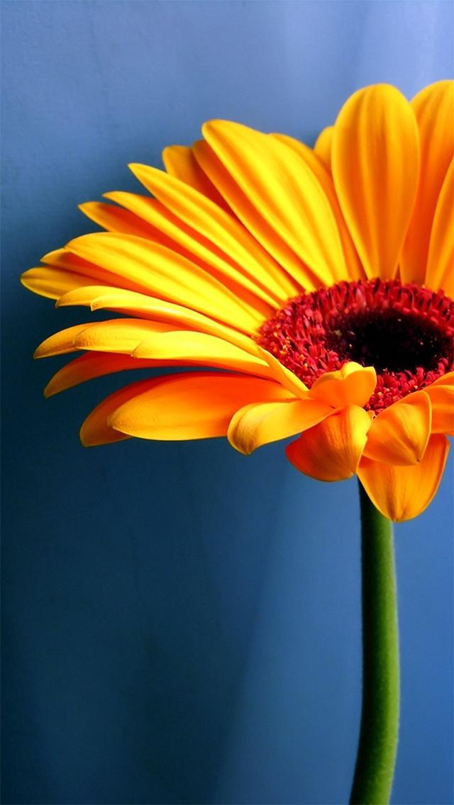 The Iphone Wallpapers Gerbera Sunflower