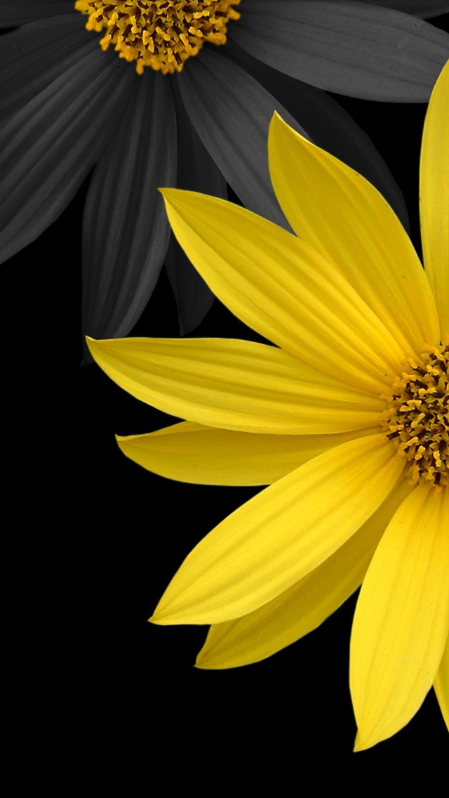 Simple Flower - The iPhone Wallpapers Yellow Black Flowers Wallpaper