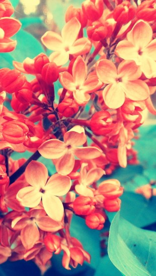 Red Syringa
