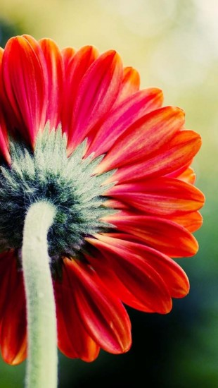 Single red flower