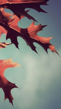 Fall Oak Leaves