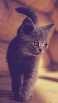 American Wirehair Kitten