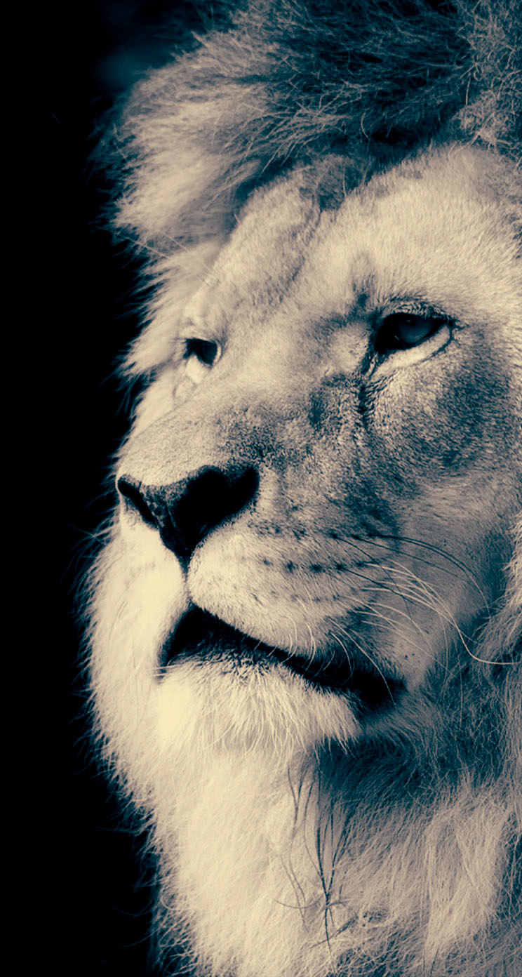 Majestic Lion The Iphone Wallpapers