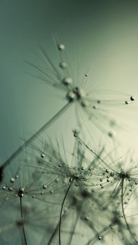 Drops on Dandelion