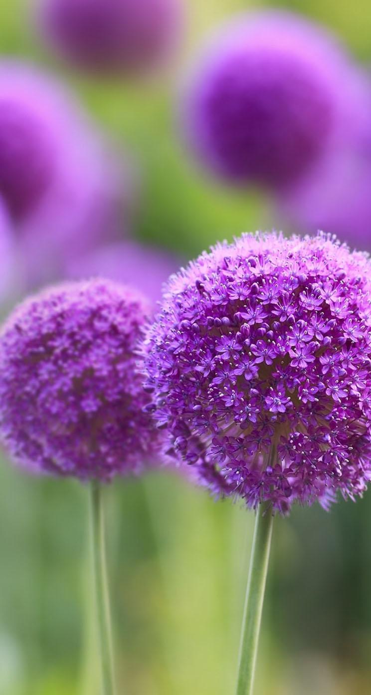 purple flowers natural iphone wallpapers allium spring