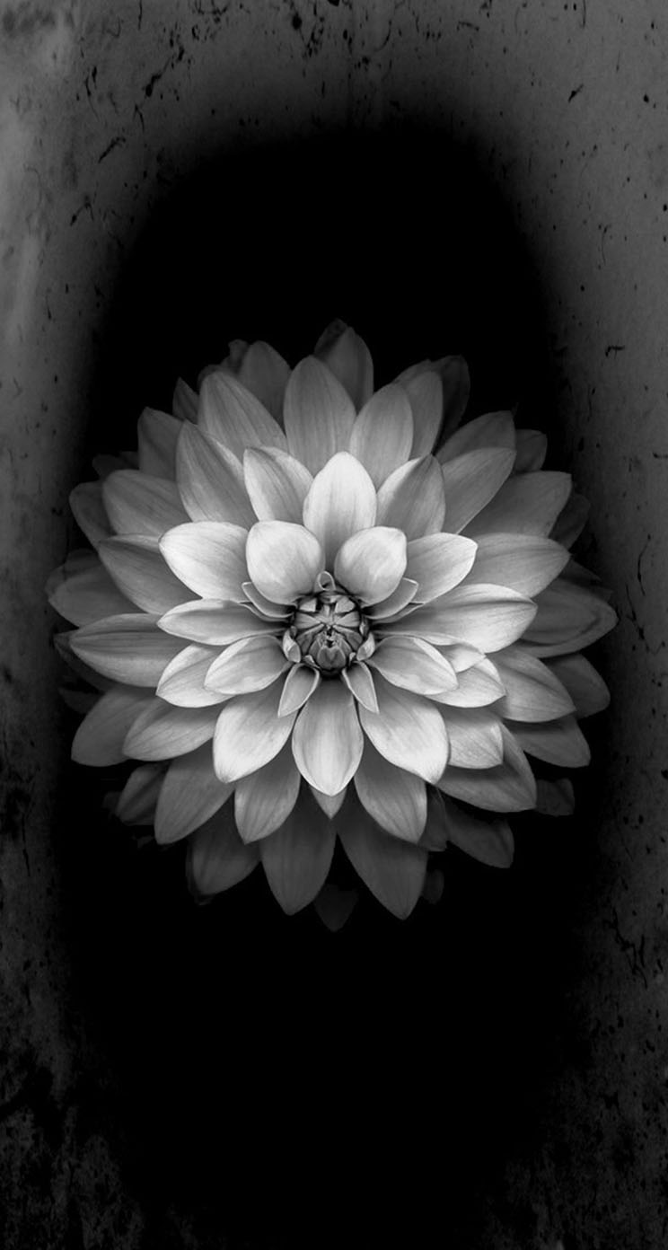 The Iphone Wallpapers White Flower Ios 8