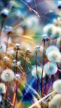 Sunshine Dandelion