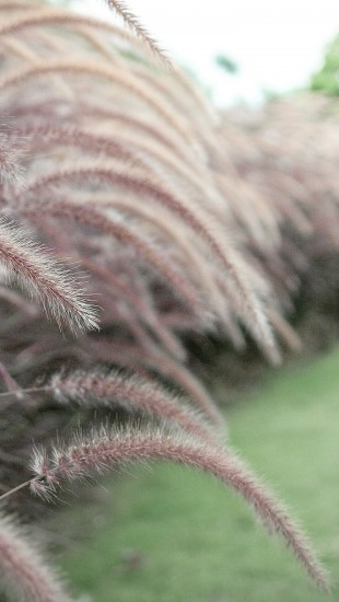Gras plant