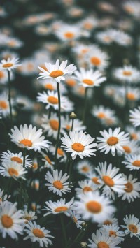 blooming-chamomile