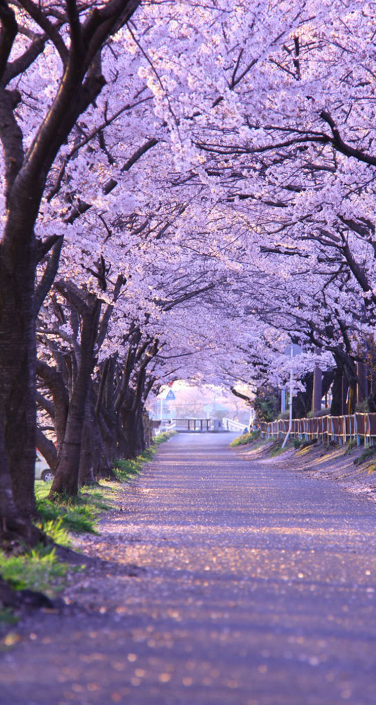 The Iphone Wallpapers Cherry Blossom Gifu