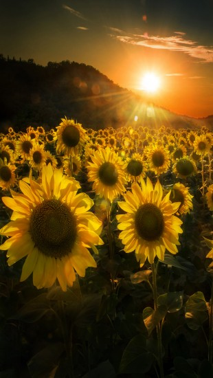 Sunflowers-at-sunset