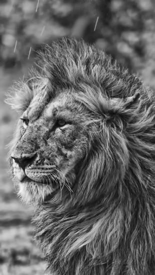 Lion In The Rain