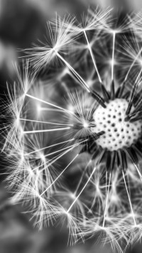 Black White Dandelion