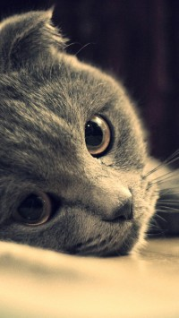 Gray cat face close-up