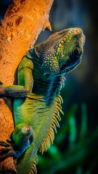 Green iguana in the tree branch