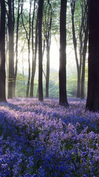 Dawn purple flowers in Forest
