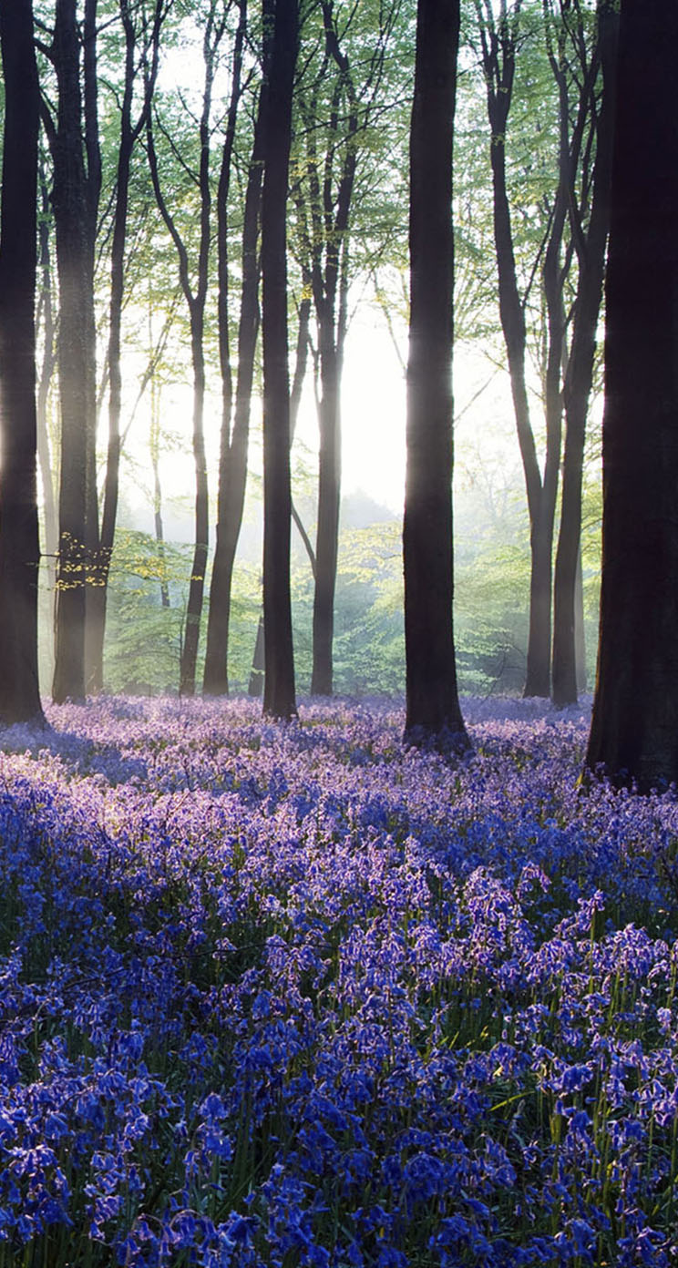 Dawn Purple Flowers In Forest The Iphone Wallpapers