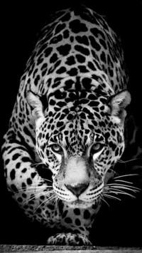 Wild Animal Jaguar