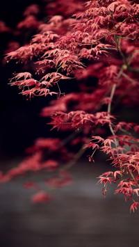 Maple Tree Leaves