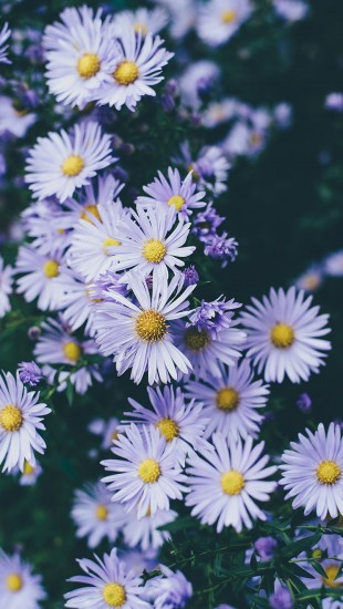 purple flowers petals