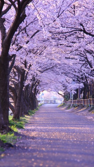 Cherry Blossom Gifu
